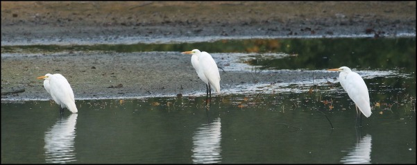 Great White Egrets 071018