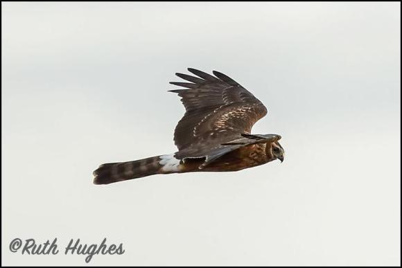 Hen Harrier 311018 1