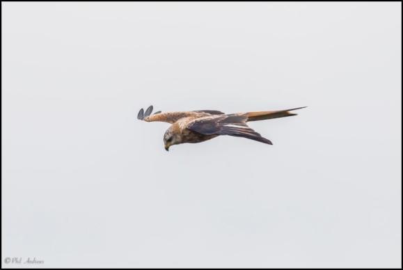 Red Kite 181018