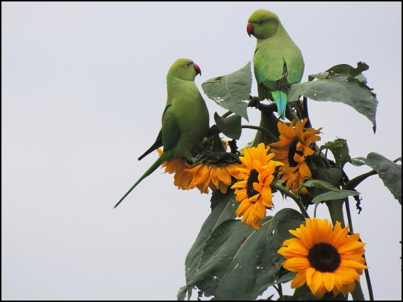 Ring-necked Parakeets 211018