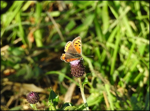 Small Copper 031018
