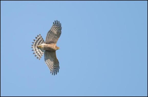 Sparrowhawk 101018