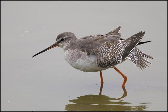 Spotted Redshank 051018
