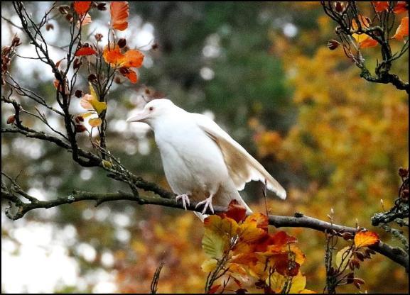 Albino Crow 011118