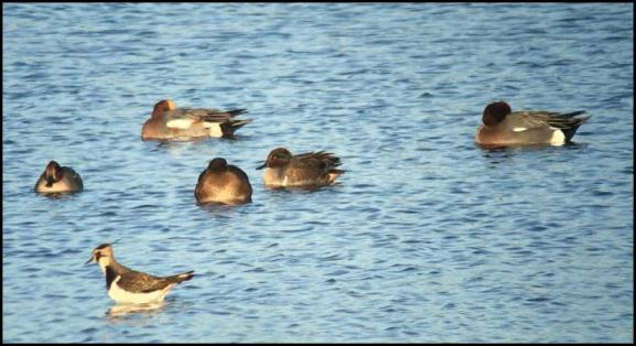 Green-winged Teal 301118 1