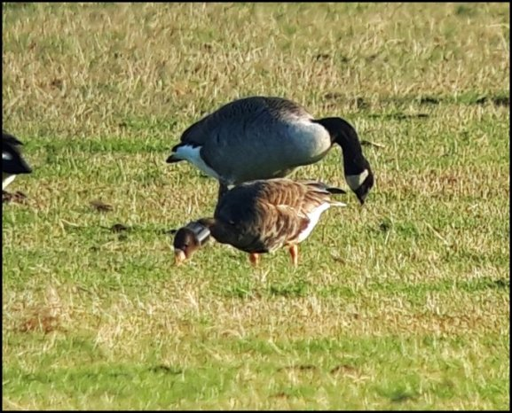 Greenland White-fronted Goose 171118 1