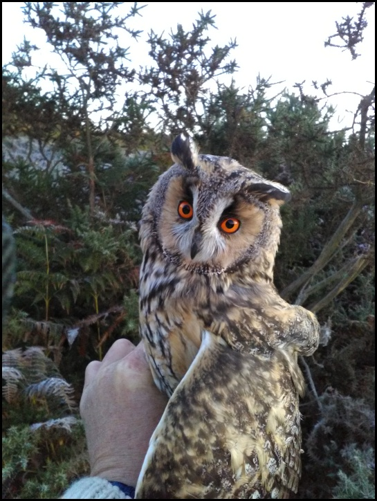 Long-eared Owl 021118