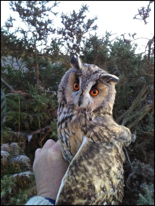Long-eared Owl 021118