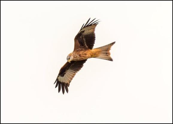 Red Kite 301118
