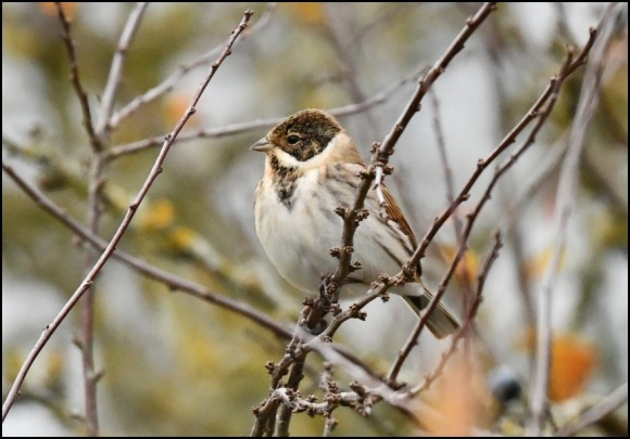 Reed Bunting 091118