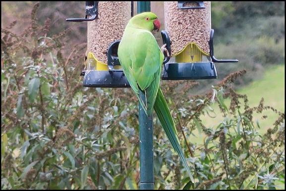 Ring-necked Parakeet 031118