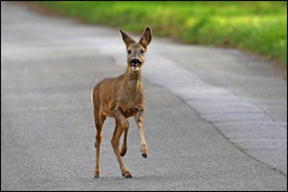 Roe Deer 191118