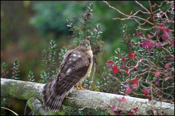 Sparrowhawk 081118