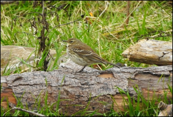 Water Pipit 011118 1