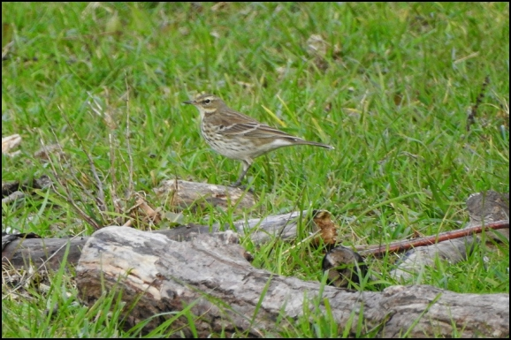 Water Pipit 011118 2