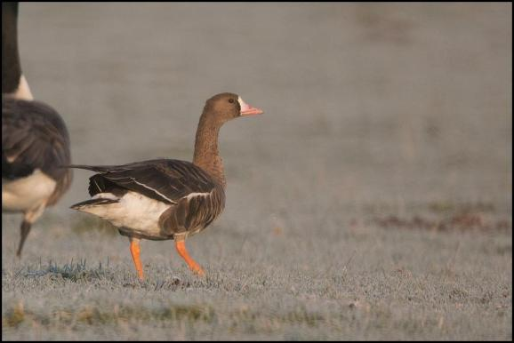 White-fronted Goose 221118 1