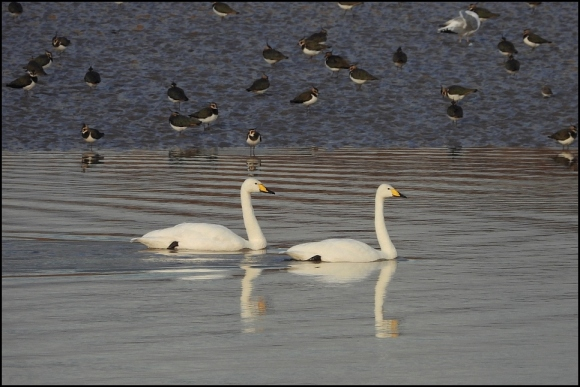 Whooper Swans 261118