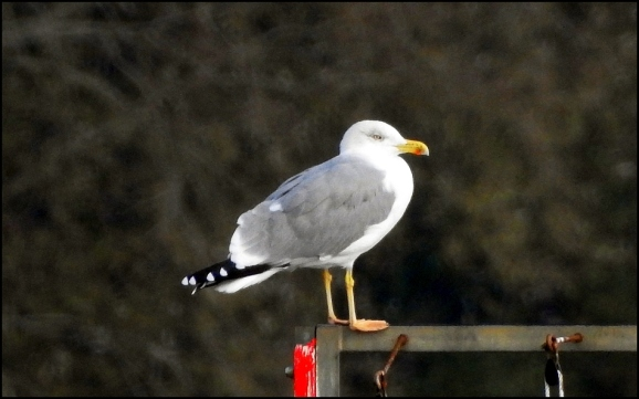 Yellow-legged Gull 051118