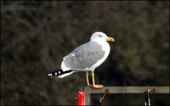 Yellow-legged Gull 051118
