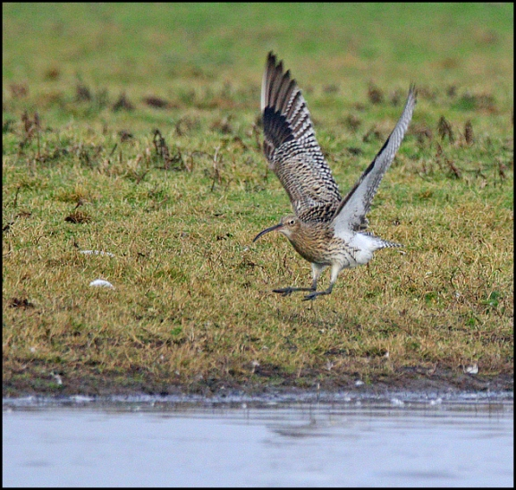 Curlew 271218