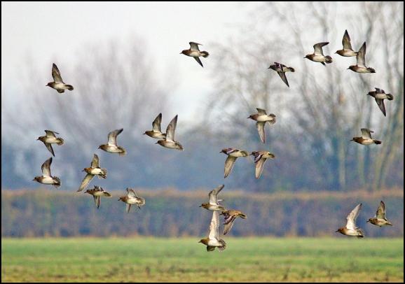 Golden Plovers 271218