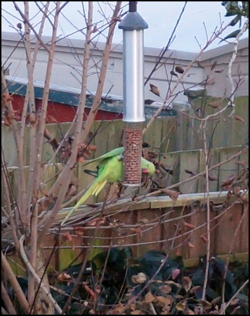 Ring-necked Parakeet 141218