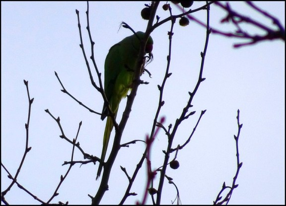 Ring-necked Parakeet 251218