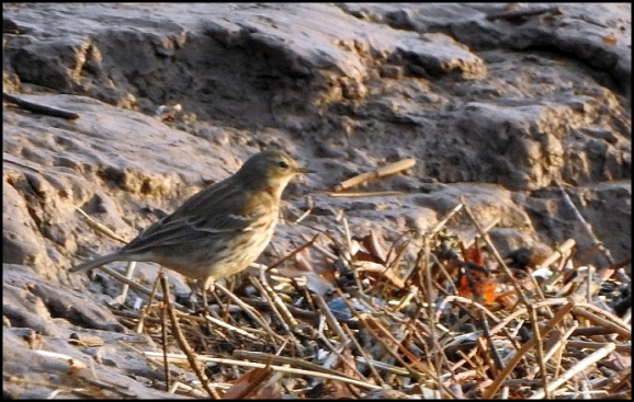 Water Pipit 131218