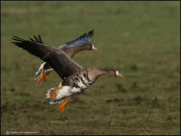 White-fronted Goose 131218 2.jpg