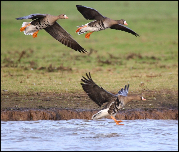 White-fronted Goose 131218
