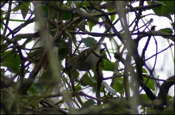Yellow-browed Warbler 281218