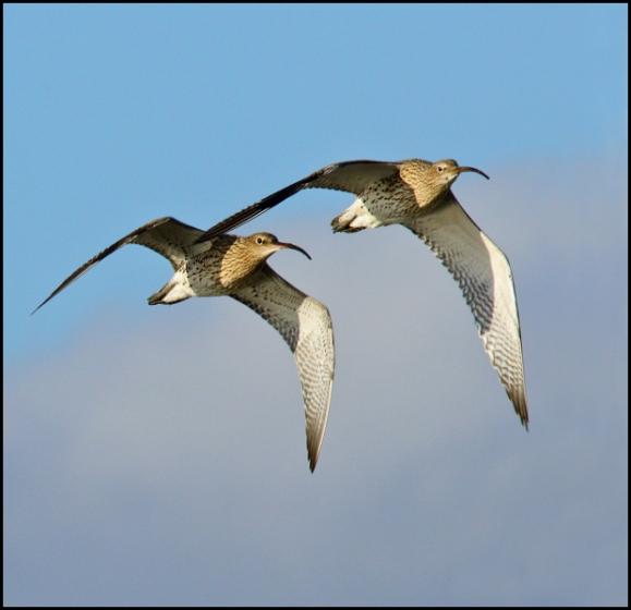 Curlews 081218 1