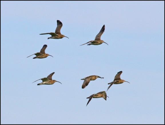 Curlews 081218 2