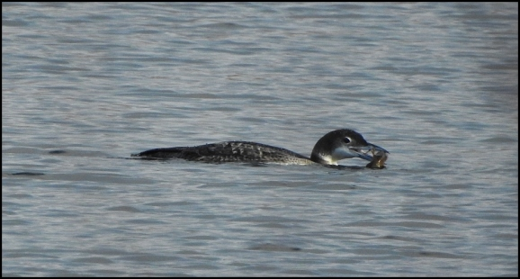 Great Northern Diver 010119 2