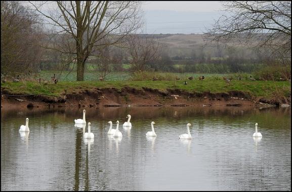 Whooper Swans 020119 1