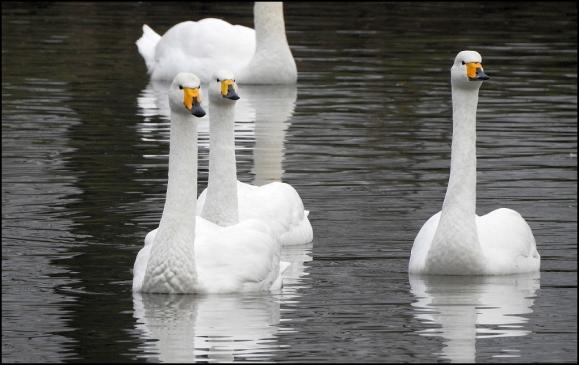 Whooper Swans 020119 2