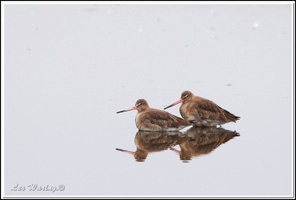 black-tailed godwits 050119