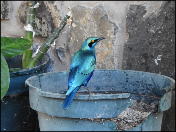 bot - greater blue-eared starling