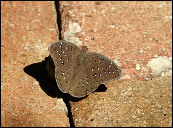 bot - guineafowl butterfly