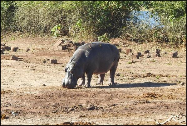 bot - hippo