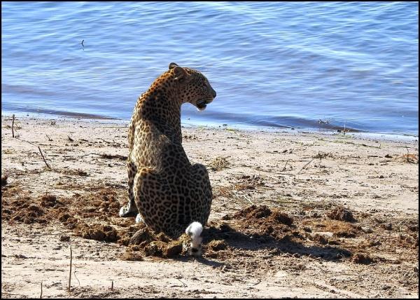 bot - leopard 1
