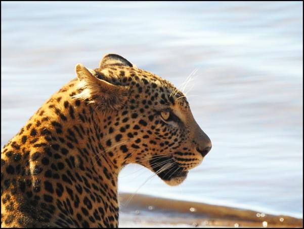 bot - leopard 2