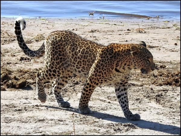 bot - leopard 3