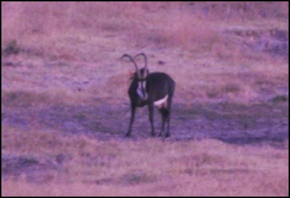 bot - sable antelope