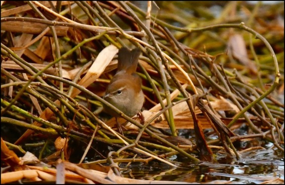 cetti's warbler 220119