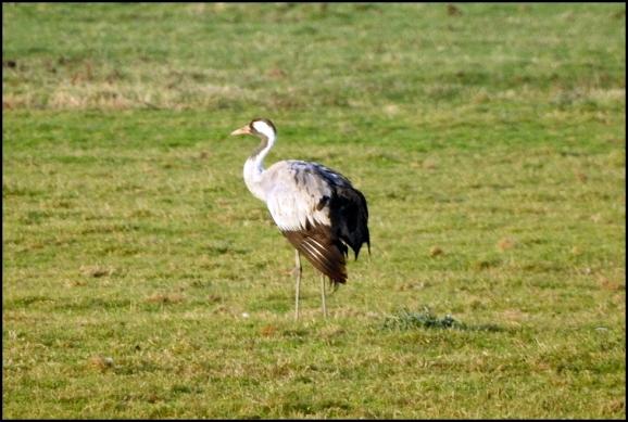 common crane 040119
