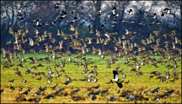 Golden Plovers 200119.jpg