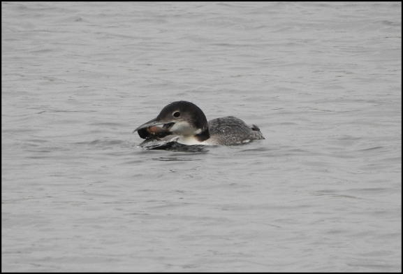 great northern diver 210119 1