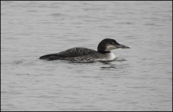 great northern diver 210119 3