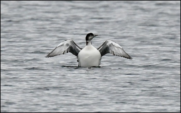 great northern diver 250119